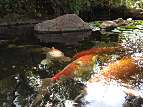 The secret koi pond of downtown walnut creek beyond the for Koi pond maine coon cattery