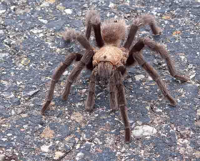 flickr-snowpeak-tarantula