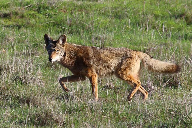 flickr-don-mccullough-coyote