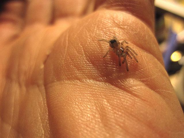 flickr-tarantuland-baby-tarantula