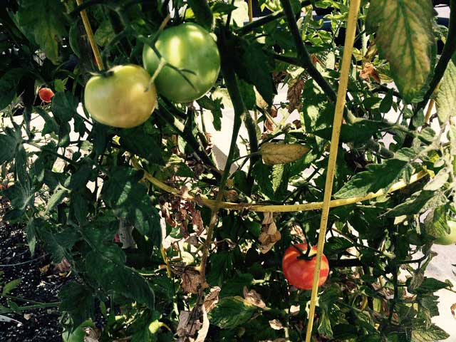 downtown-walnut-creek-garden-tomatoes-close-up