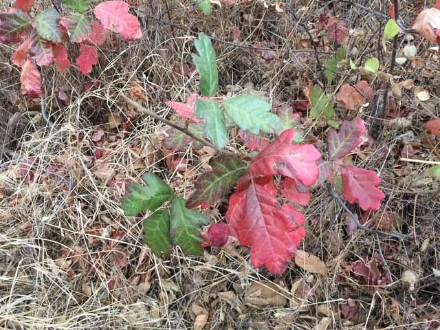 poison-oak-closeup-mt-diablo-state-park