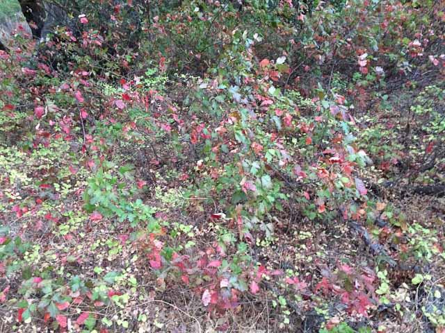 poison-oak-mt-diablo-state-park