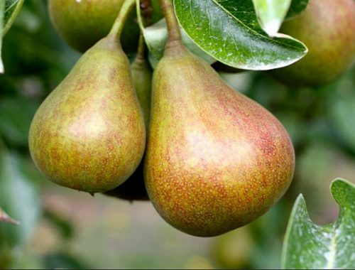 flickr-farmstr-pear