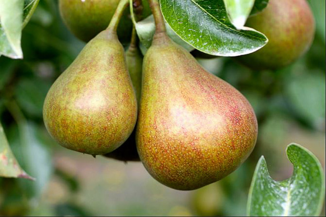 flickr-farmstr-pear